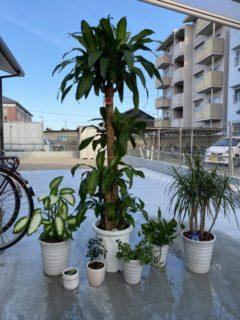 我が家の観葉植物